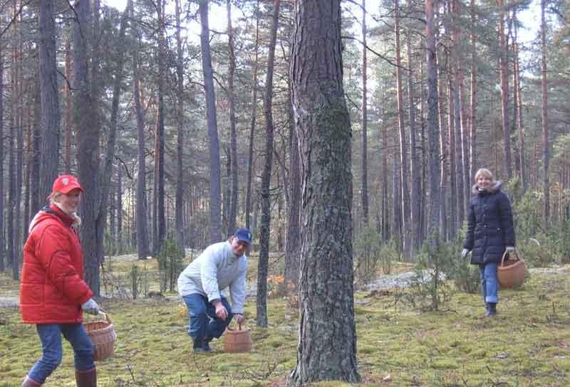 איסוף פטריות ביער פוניבז'